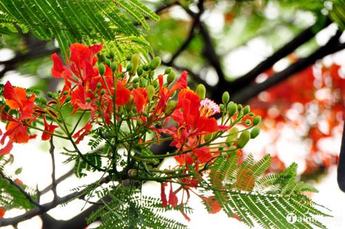 bieu cam ve cay phuong tren san truong em - Biểu cảm về cây phượng trên sân trường em