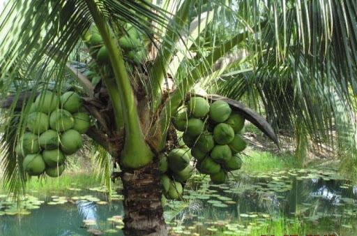 van bieu cam ve cay dua ma em biet - Văn biểu cảm về cây dừa mà em biết